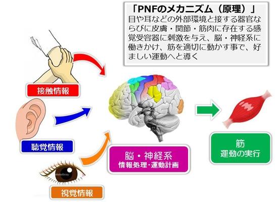 PNFのメカニズム